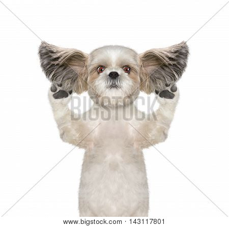 dog listens attentively some strange sounds -- isolated on white