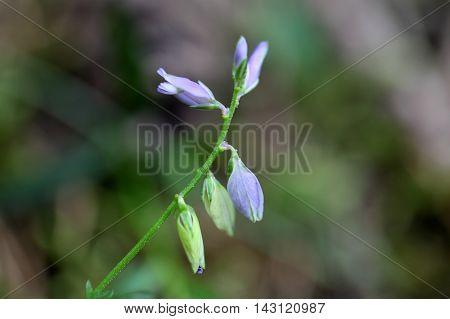 Flower of a heath milkwort (Polygala serpyllifolia) a small wildflower from Europe.