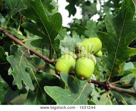 Oak Chestnut