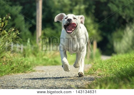 Young Labrador puppy runs on a walk with his tongue hanging out - grimace