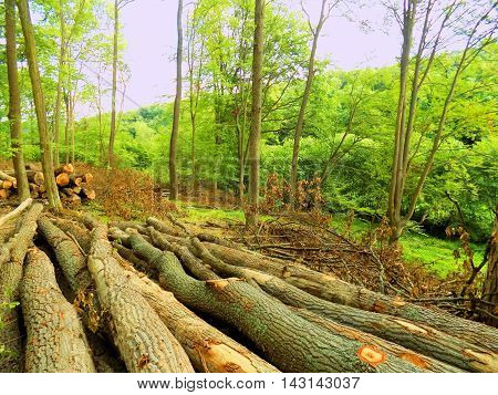 Tree logs after wood exploitation in deciduous forest