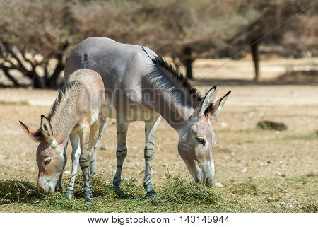 Somali wild donkey (Equus africanus) is the forefather of all domestic asses. This species is extremely rare both in nature and in captivity. Nowadays it inhabits nature reserve near Eilat, Israel