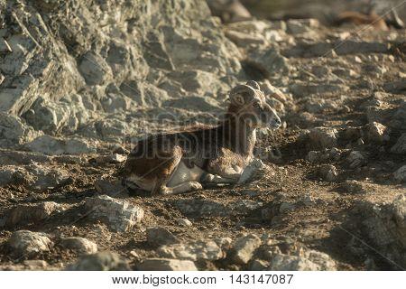 Mouflon you have a break in the rocky mountain.