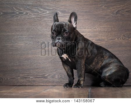 The poor guilty puppy sitting on the floor near the wall. Dog black French bulldog