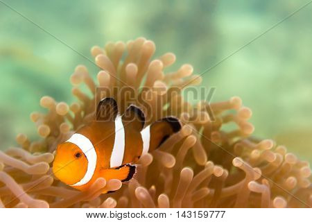 Underwater picture of  a Clow Anemone Fish