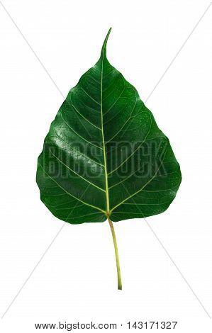 Green leaf Pho leaf, (bo leaf,bothi leaf) isolated on white background.