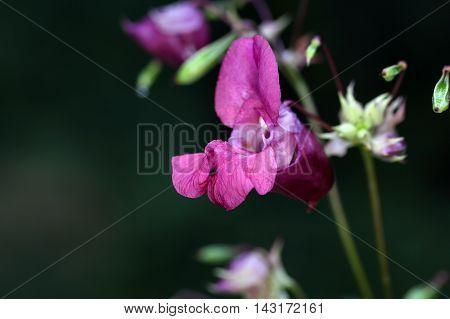 Flower of an Himalayan Balsam (Impatiens glandulifera)