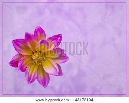 view of a yellow and purple dahlia on a pale purple background