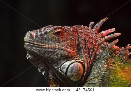 Close Up Portrait Of Green Iguana Male On Black