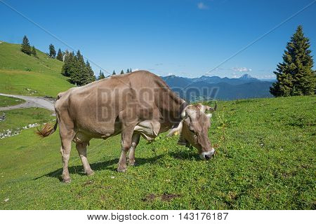 Brown Milker Grazing On A Mountain Pasture