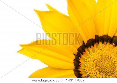 Yellow and beautiful flower gazania close up
