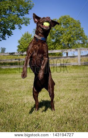Happy chocolate Labrador leaping frontally on hind legs having caught green ball in mouth