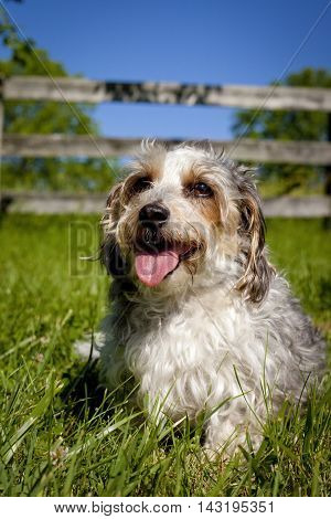 Adorable fluffy mutt sitting on grass, panting, with wooden fence behind