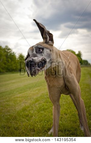 Ridiculous great Dane standing on lawn twisting head