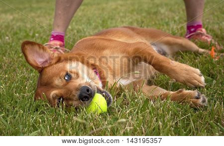 Sweet, exhausted mutt lying on side in grass with ball in mouth