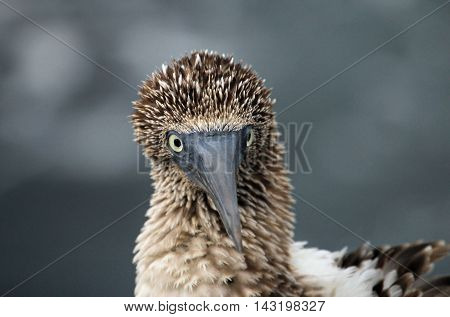 Blue footed booby close up on Galapagos Island