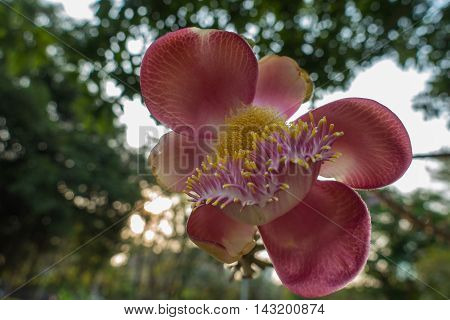 Cannonball flower from tree In the park
