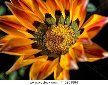Gazania is a genus of flowering plants in the family Asteraceae, native to Southern Africa. They produce large, daisy-like composite flowerheads in brilliant shades of yellow and orange, over a long period in summer.