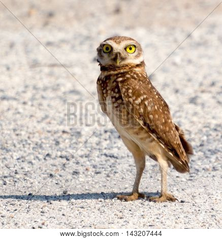 Burrowing Owl with side light from white floor