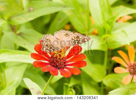 Lemon Pansy Butterfly On A Mexican Sunflower