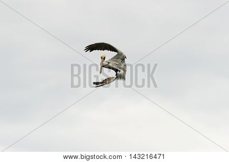 Wildlife birds flying is a large seabird gracefully captured mid dive as he appears suspended in a mid air pose.
