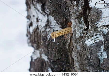 drop of birch sap from the tube