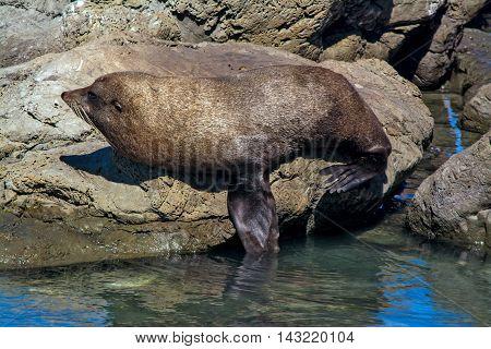 Lazy Seal Sleeping On The Rock At Kaikoura, New Zealand