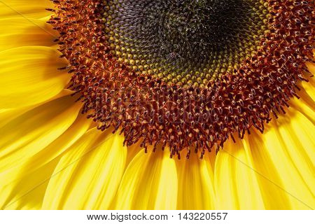 full frame macro shot of a sunflower