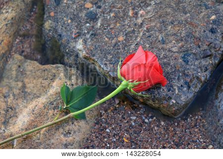 Red rose laying on wet rocks on a lake shore.
