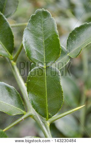 green Kaffir lime leaves in garden, citrus hystrix DC.