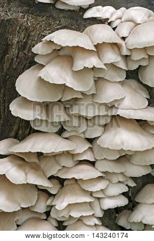 Indian oyster mushrooms (Pleurotus pulmonarius). Called Italian oyster Phoenix mushroom Pale oyster and Lung oyster also