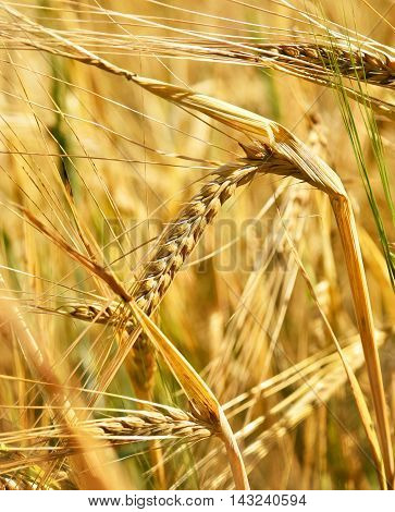 Ripe barley in the sun. Selective focus on ear of barley.