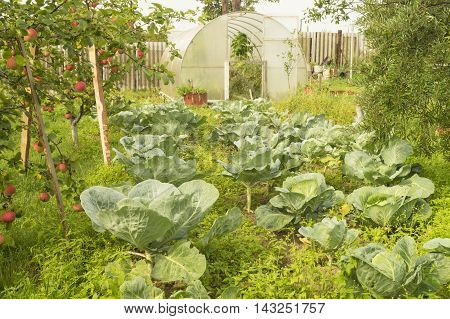 Cabbage and aple tree grows in year garden on background of the hothouse