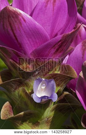 Siam tulip (Curcuma alismatifolia). Called Summer tulip also