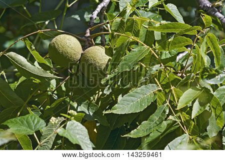 Eastern black walnut (Juglans nigra). Close up image of two fruits
