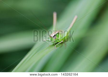 Selective focus image grasshopper Great Green Bush-Cricket. Tettigonia viridissima. insect macro view, shallow depth field