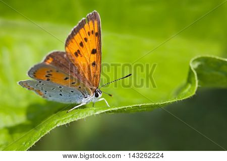 Blue orange gossamer-winged butterfly. Polyommatus icarus on green leaf background, macro view