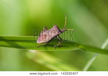 Brown shield bug on a grass. insect Pentatomidae on a green grass. macro view