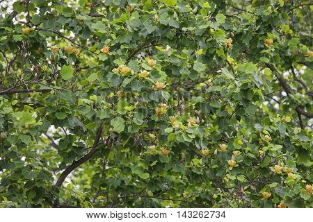 Tulip tree in blossom (Liriodendron tulipifera). Called Tuliptree American Tulip Tree Tulip Poplar Yellow Poplar Whitewood and Fiddle-tree also. Symbol of Indiana Kentucky and Tennessee
