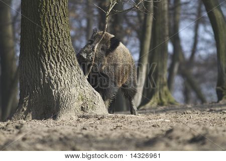 wild hog marking his teritory