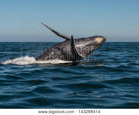 A whale jumps out of the water in the pacific ocean