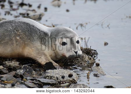 Adorable baby seal pup on a rocky shore.