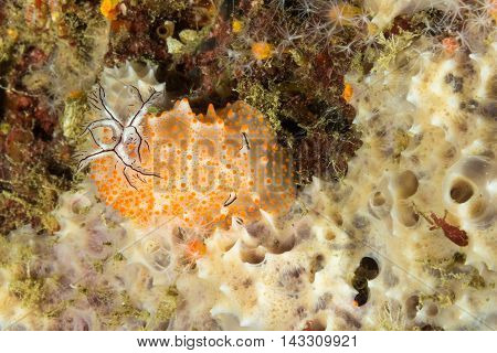 Underwater picture of Halgerda batangas Nudibranch Sea Slug
