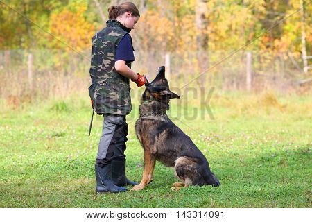 MOSCOW - SEP 24, 2015: Woman trains sheep dog to sit closer to master on grass field near forest