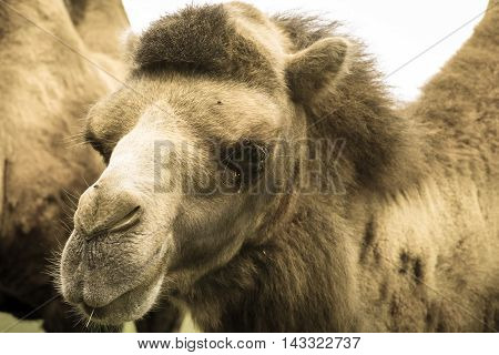 Bactrian camel Camelus bactrianus sepia effect photo