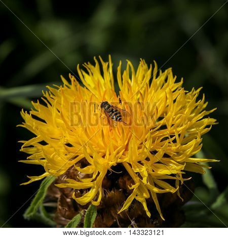 Giant Knapweed Bighead Yellow Flower With Wasp