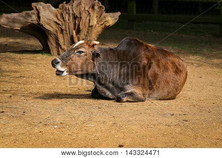 Dwarf Zebu Bos Taurus Indicus