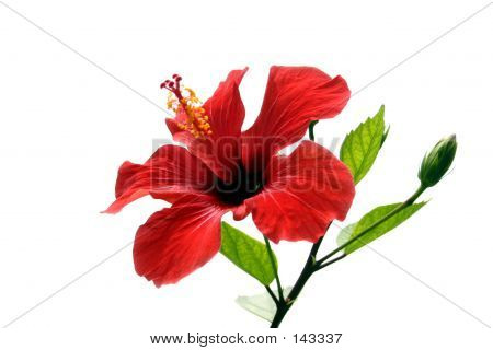 Hibiscus Over White