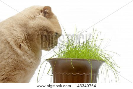Red british fold cat eats green grass isolated on white