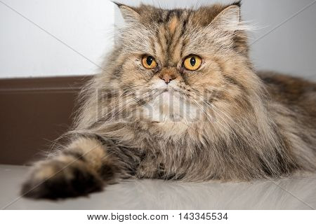 Persian cat portrait. Purebred persian cat photographed